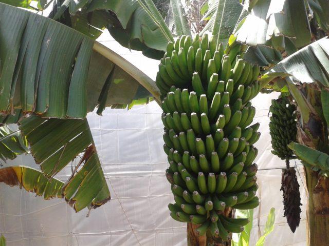 Банановое дерево в Гальдаре.