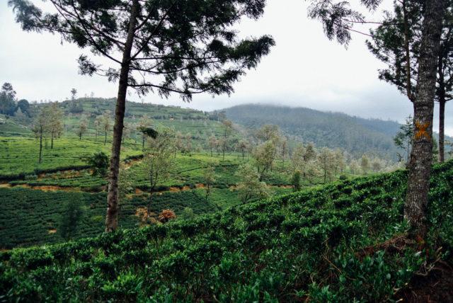 Нувара-Элия. Чайные плантации.
